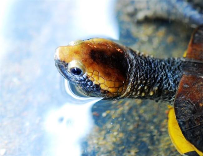 紅頭蛇頸龜